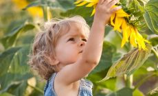 little girl looking at sunflower